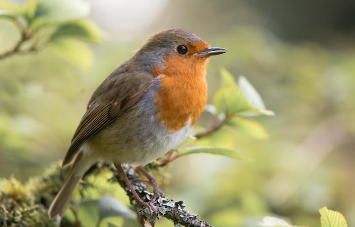 Mest almindelige fugle i Danmark
